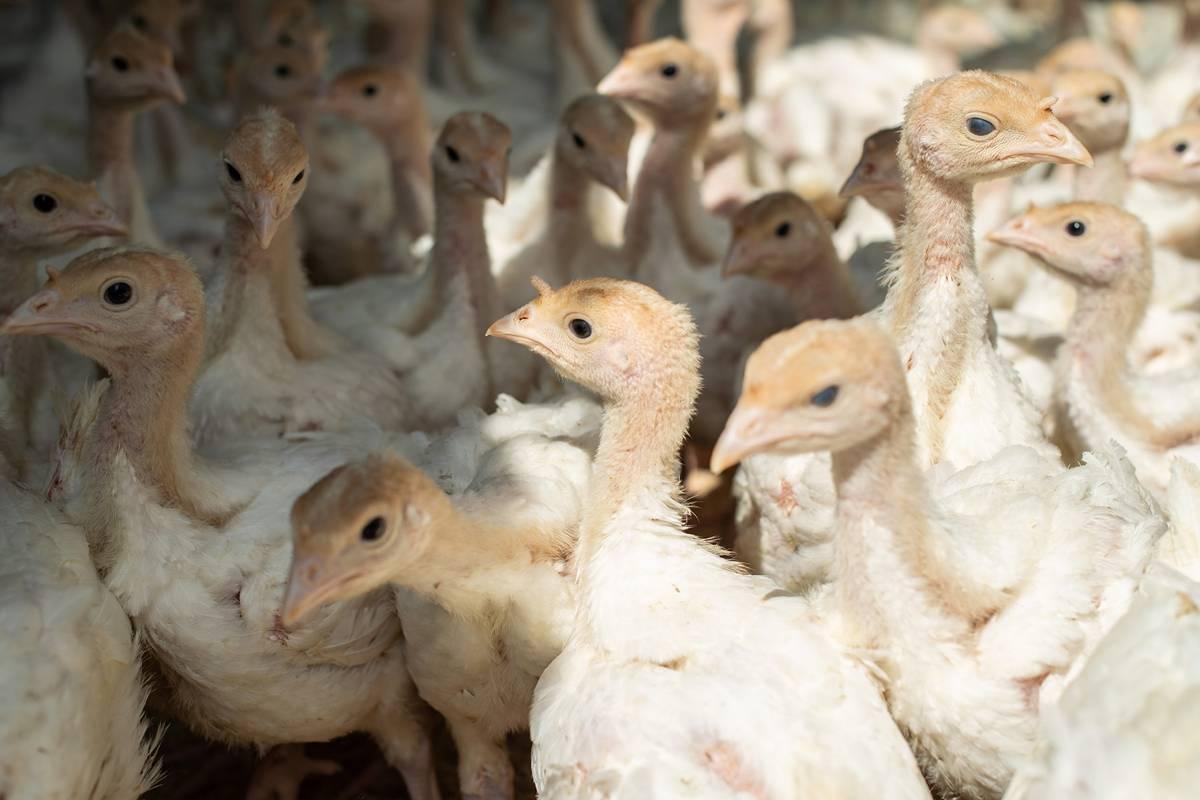 Индюшата-цыплята